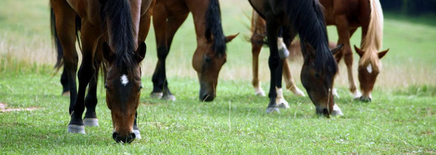 AAEPhorses